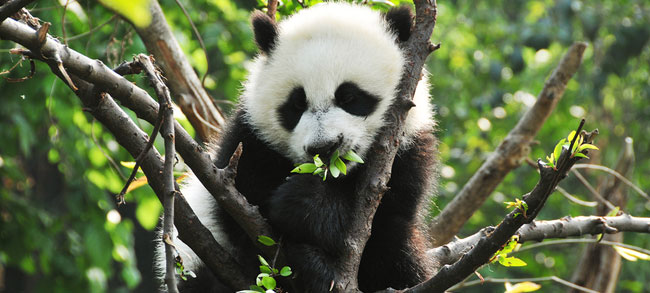 panda conservation internship